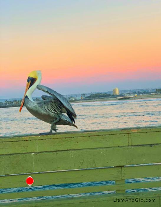 Pelican Ocean Beach Pier San Diego